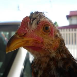 cockerel1